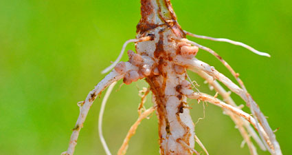 raiz de planta com infestação de nematóides