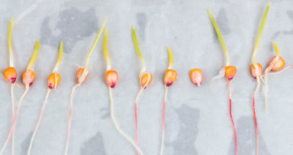 analise laboratorial com milhos