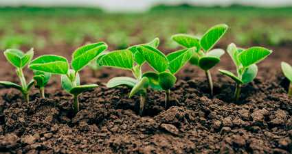 plantação de soja nascendo