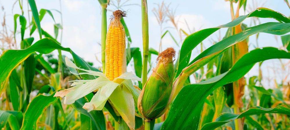 plantação de milho e espigas de milho abertas
