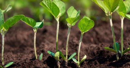 solum-lab-plantacao-soja-crescendo