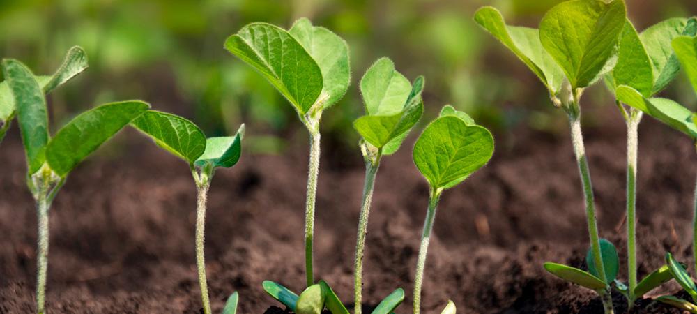 plantação de soja crescendo