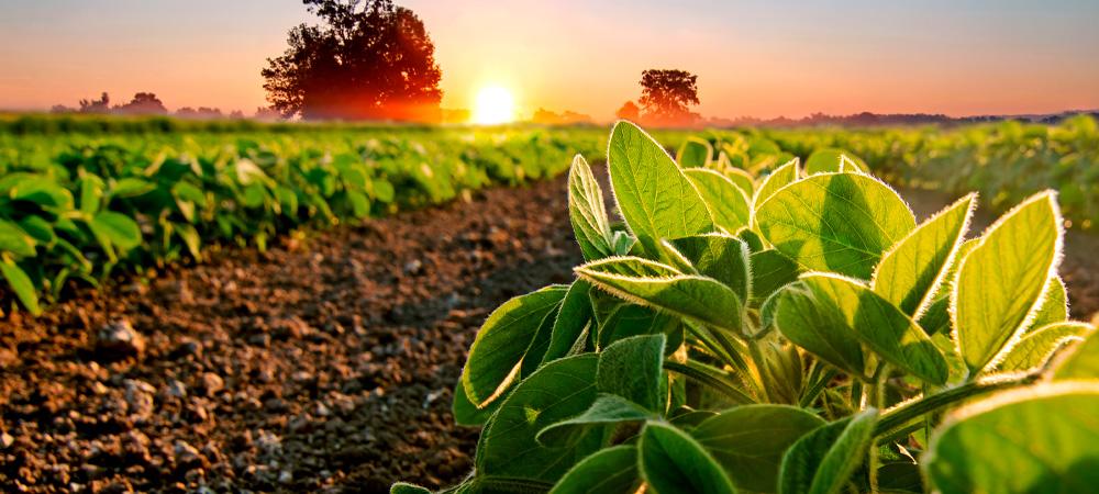 plantação de soja com por do sol