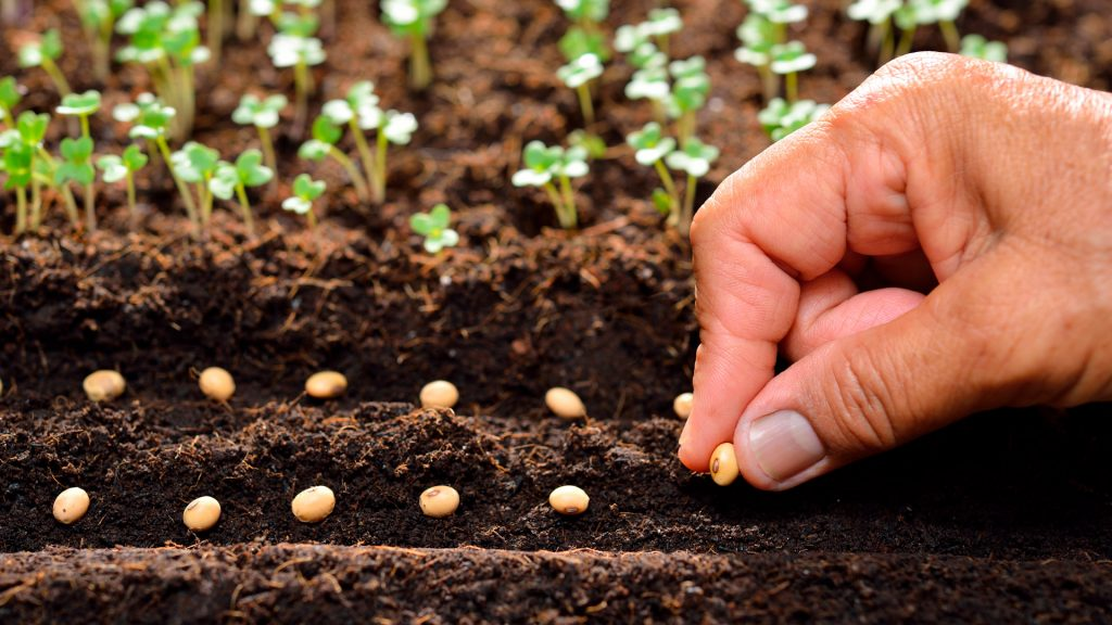 homem plantando sementes de soja no solo