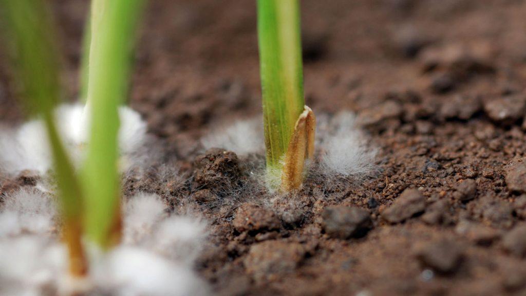 Foto de fungos de solo atacando plântulas