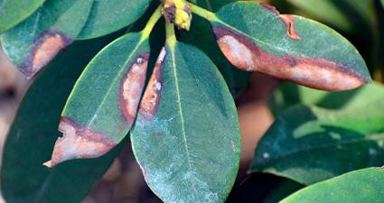 imagem de murcha vascular na folha das plantas