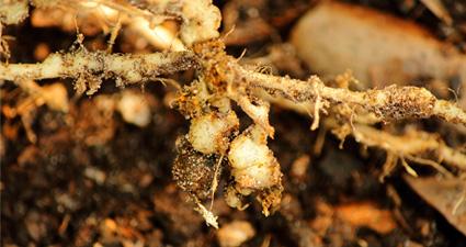 imagem de nematoses radiculares na raiz