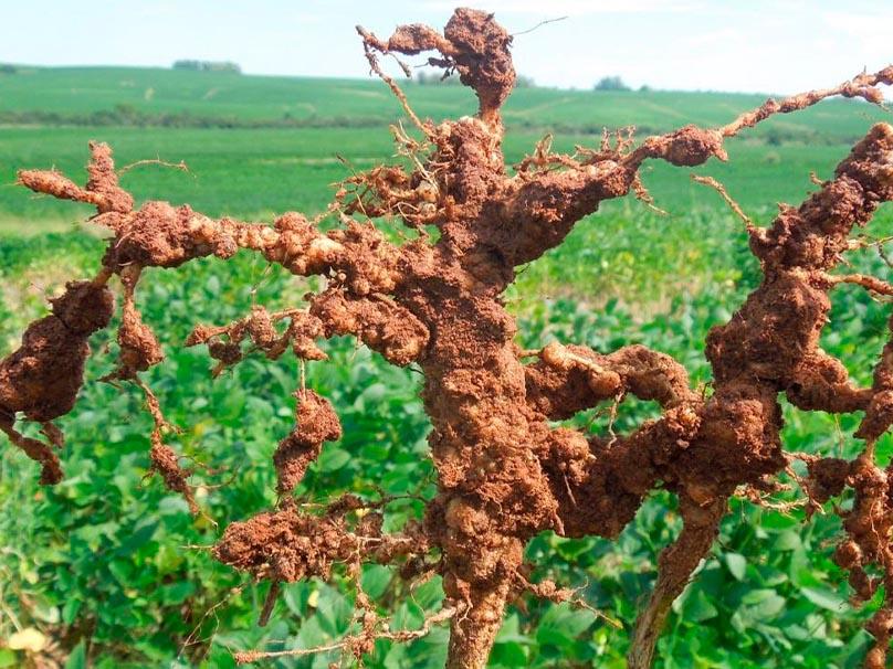 Foto de uma raiz de soja com nematoide de galha