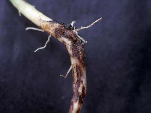 Foto de uma raíz com Rizoctonia solani