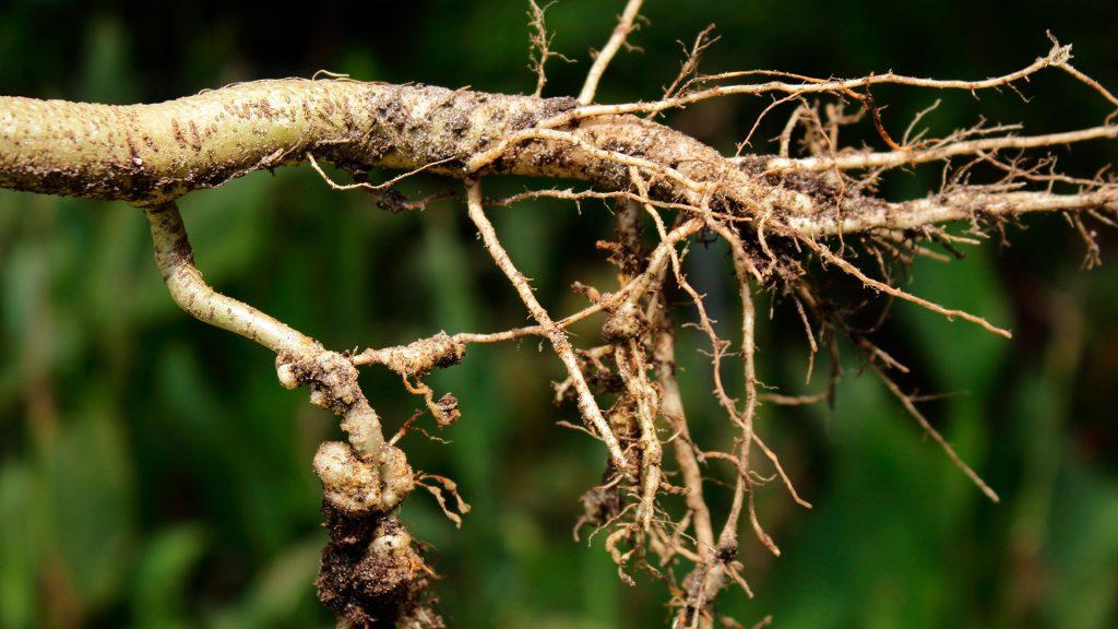 Imagem de raíz com nematoide