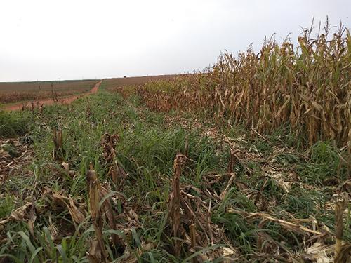 Cobertura vegetal Consórcio milho + braquiária