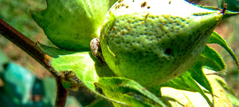 """O bicudo-do-algodoeiro é um pequeno besouro (3-4 mm) que ataca os botões florais e as """"maçãs"""" do algodoeiro"""
