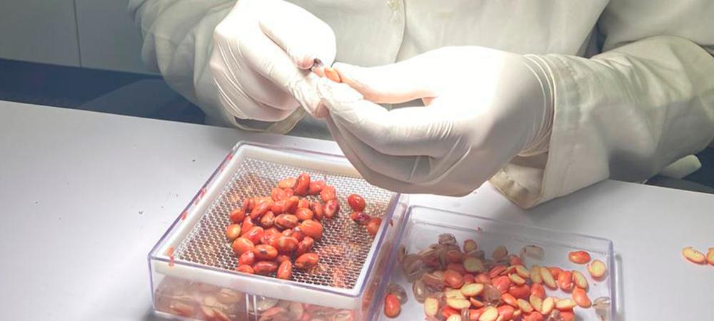 laboratorista manipulando semente em laboratório