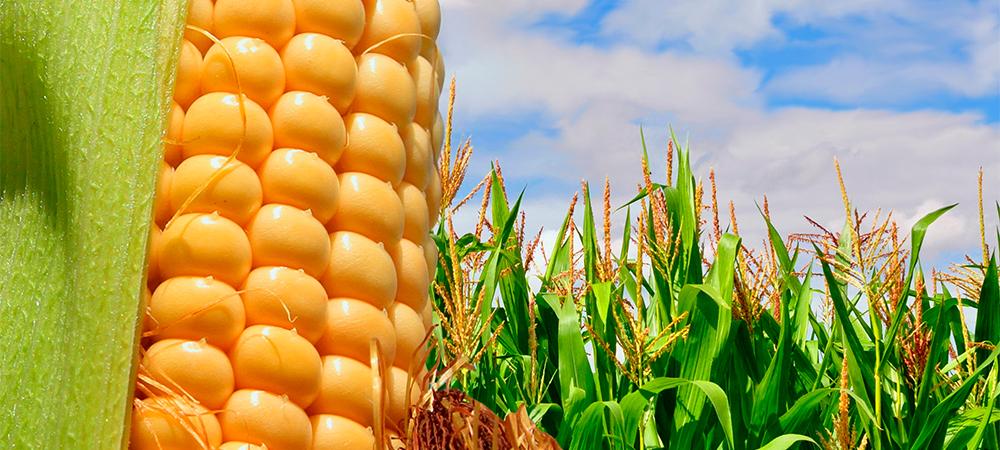 Manejo especializado do cultivo de milho segunda safra